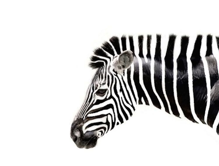 zebra-ritmo-strisce